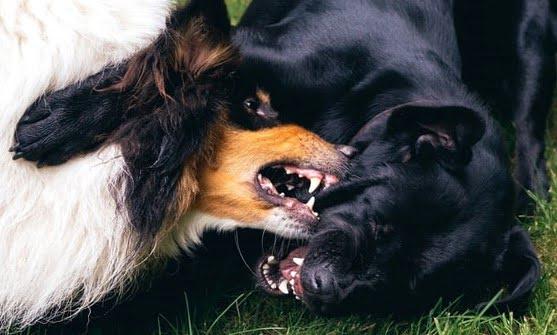 köpeklerim kendi arasında kavga ediyor